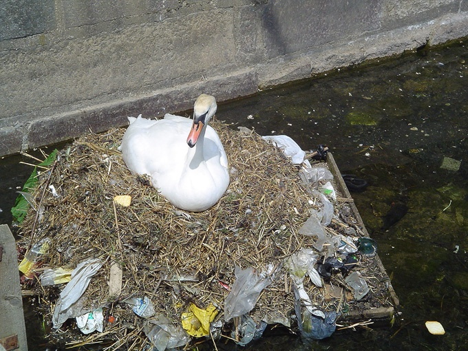 Swan Nesting on Plastic Waste